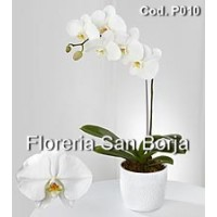 Orquidea Planta Phalaenopsia Flor Blanca 