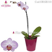 Phalenopsis Orchid - Natural Plant Moscow