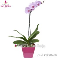 Phalaenopsis Lila Miami Color Orchid - Natural plant with flowers