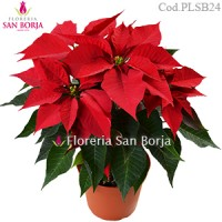 Planta natural de Poinsettia Roja
