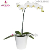 Phalaenopsis white Orchid with flowers